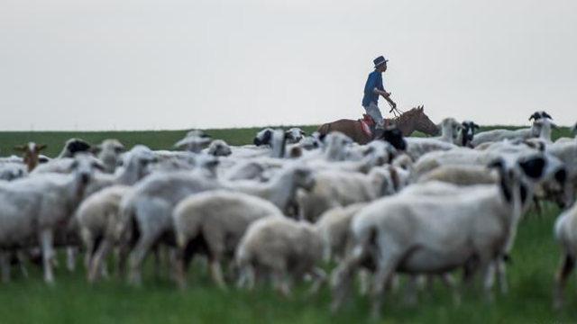 An Inner Mongolian herds sheep on a grassland.